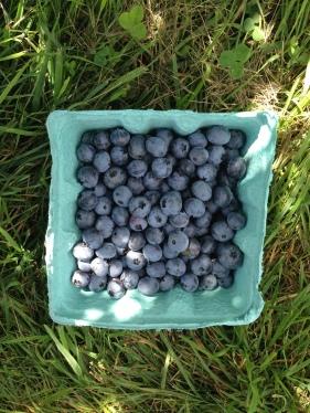 blueberry picking