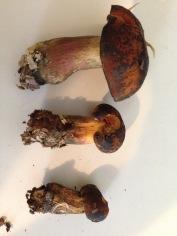 foraged poisonous boletes. Unfurled Vermont