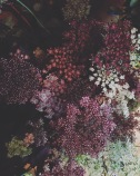chocolate queen annes lace